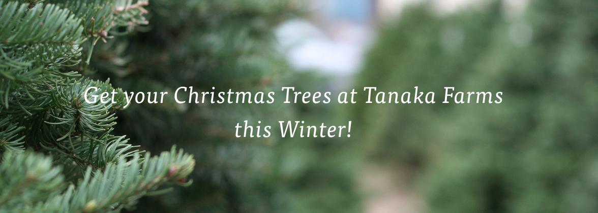 Tanaka Farms Christmas Tree Sanrio Village