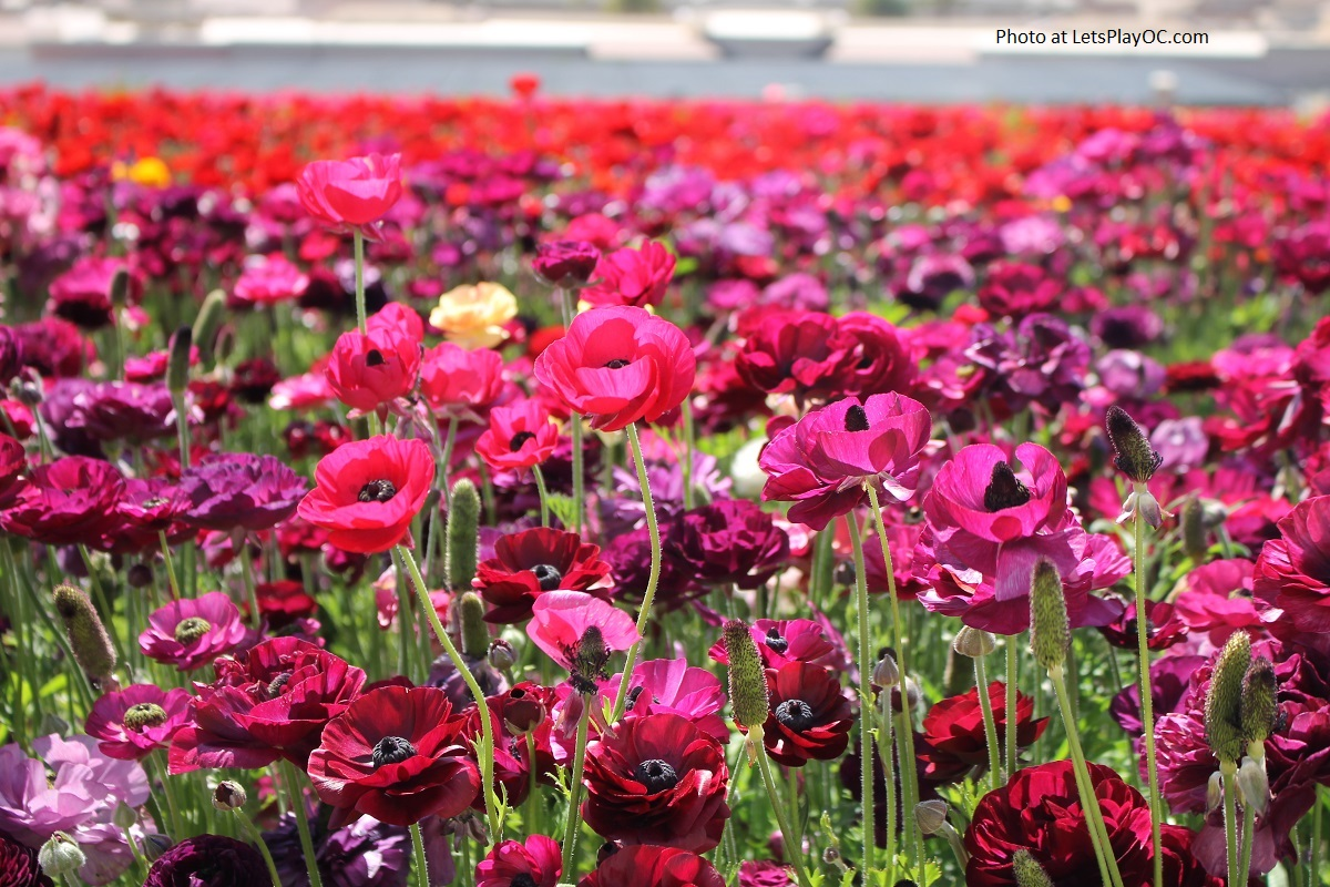 Flower Fields Carlsbad Ranch Attractions - LET\'S PLAY OC!